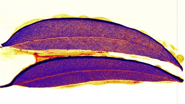 Деревья с золотыми листьями обнаружены на окраине Австралии