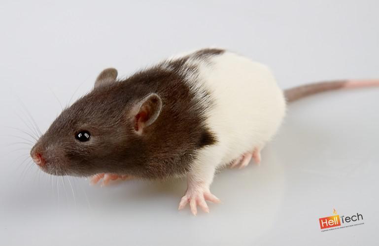 Ученые создают печатную 3D копию скелета крысы