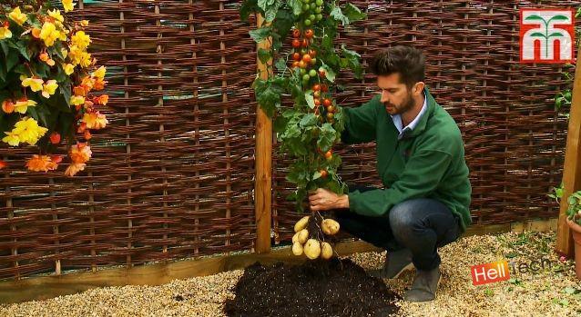 TomTato - инновационный гибрид помидора и картофеля